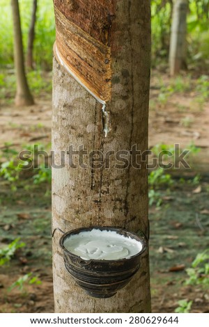 Milky latex extracted from rubber tree as a source of natural rubber