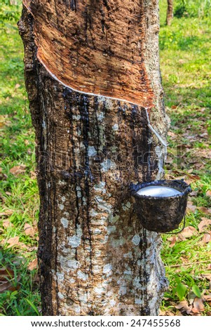Milky latex extracted from rubber tree (Hevea Brasiliensis) as a source of natural rubber - stock photo