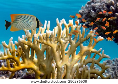 Millepora fire coral. Red Sea. - stock photo