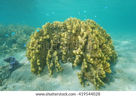 Millepora fire coral underwater in the lagoon of Huahine island, Pacific ocean, French Polynesia - stock photo