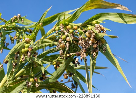 millet,Jobs tears (Coix lachryma-jobi L.) on tree with blue sky,  native plants of southeast asia - stock photo
