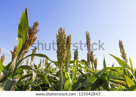 Millet or Sorghum field  with blue sky background