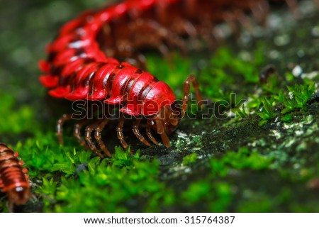 Millipede,Millipede pink.-Pink dragon millipede A dragon millipede found in only one in the world.