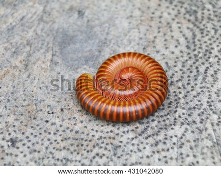 Millipedes curl on wood and coiled.