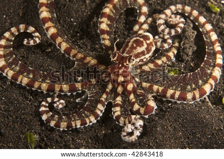 Mimic octopus (Thaumoctopus mimicus) on muck sand bottom in the Lembeh Strait.