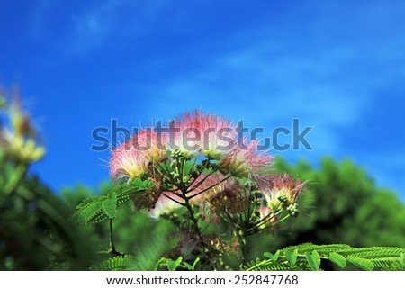 Mimosa Albizia julibrissin flower on a background of bright blue sky - stock photo