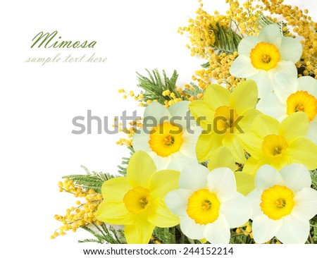 Mimosa and narcissus flowers bunch isolated on white background with sample text - stock photo