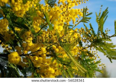 Mimosa Branch - stock photo
