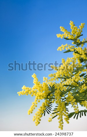 mimosa flower on blue background - stock photo