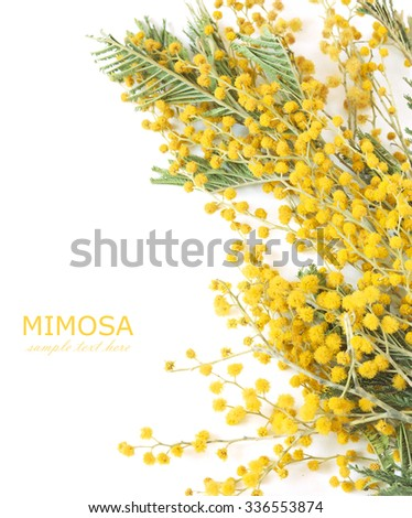 Mimosa flowers branch isolated on white background with sample text - stock photo