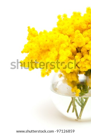 mimosa in a glass vase isolated on white background - stock photo