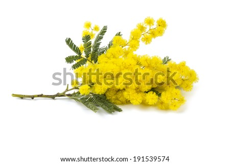 mimosa isolated on white background - stock photo