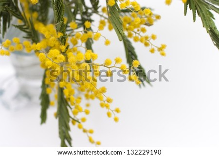 mimosa on a white background - stock photo