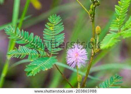 Mimosa pudica. - stock photo