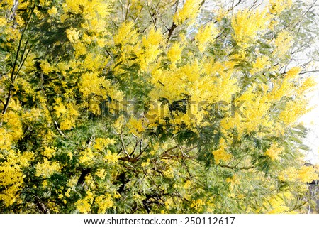 mimosa tree over white background with perfect focus over the flowers in the foreground