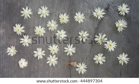 Mimusops elengi or Bokul flower of Indian subcontinent ,Thailand flower, small wild flower fallen on stone ground with aroma smell. - stock photo