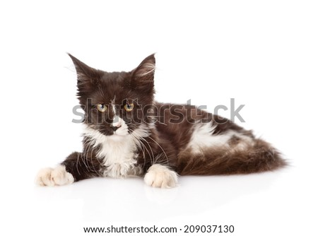 Mine Coon cat lying down and looking at the camera. isolated on white background - stock photo