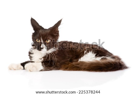 Mine Coon cat lying down and looking away. isolated on white background - stock photo
