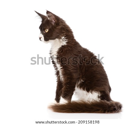 Mine Coon cat sitting in profile. isolated on white background - stock photo