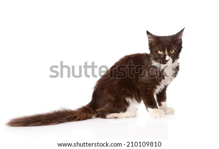 Mine Coon cat  with long tail looking at the camera. isolated on white background - stock photo