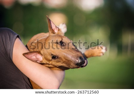 mini bull terrier  and people - stock photo