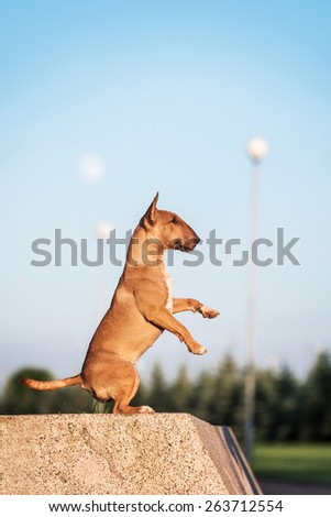 mini bull terrier  does the trick - stock photo