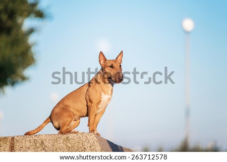 mini bull terrier sitting - stock photo