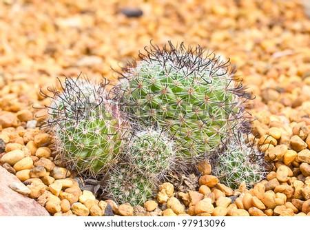 Mini Cactus Garden On Yellow Stone Background