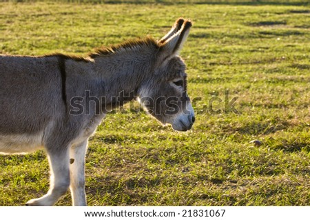 Mini donkey in green farm pasture