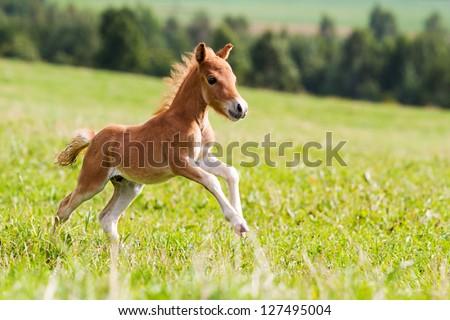 mini horse Falabella - stock photo