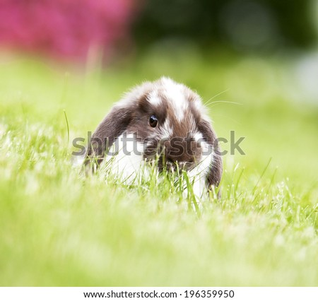 Mini lop rabbit playing in field of grass - stock photo