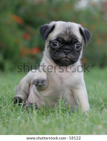 Mini pug puppy sitting