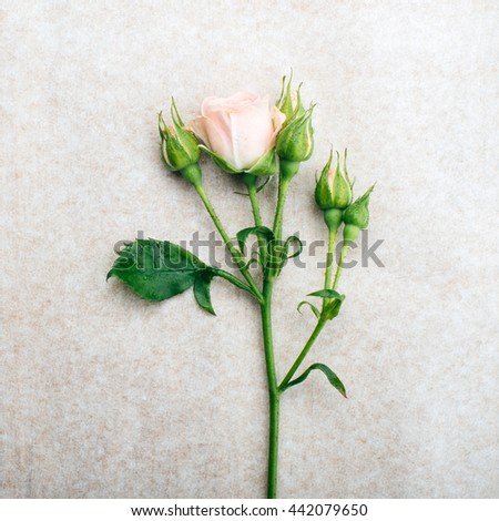 mini rose branch on vintage paper background - stock photo