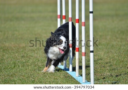 Miniature American (formerly Australian) Shepherd Doing Weave Poles at Dog Agility Trial - stock photo