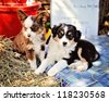 Miniature Australian Shepard Puppies - stock photo