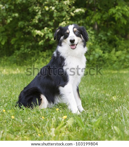 Miniature Australian Shepherd sitting in a field