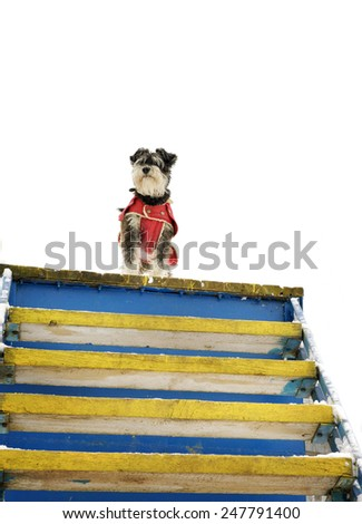 miniature black and silver schnauzer standing on the edge of the stairs - stock photo