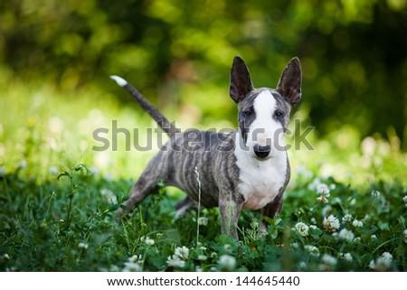 miniature bull terrier dog - stock photo