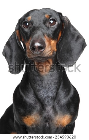 Miniature dachshund. Close-up portrait on isolated, white background - stock photo