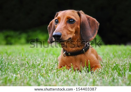 Miniature dachshund dog on the grass in park