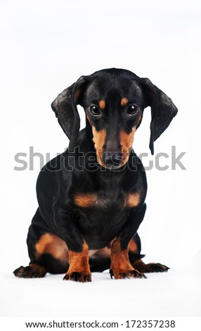 Miniature dachshund isolated on white