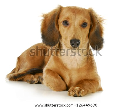 miniature dachshund - long haired weiner dog laying down looking at viewer isolated on white background - stock photo