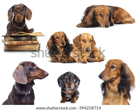 Miniature dachshund longhaired and dachshund - stock photo