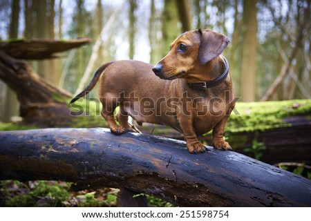 Miniature Dachshund on tree in English woodland. - stock photo