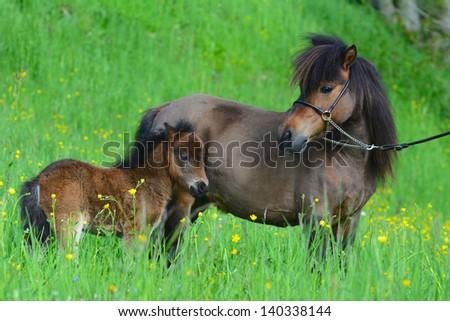 Miniature horse portrait in meadow - stock photo