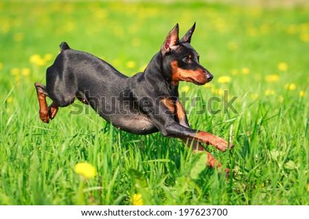 Miniature Pinscher dog - stock photo