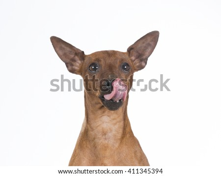 Miniature pinscher dog is licking it's nose. Image taken in a studio.