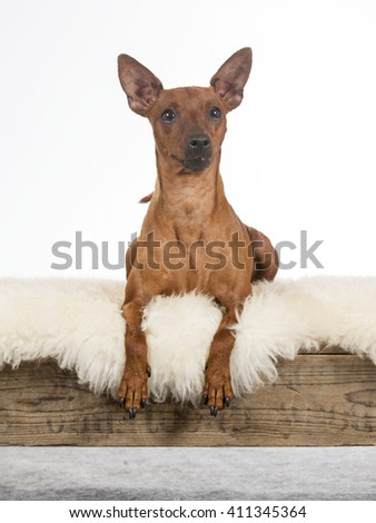 Miniature pinscher dog portrait. Image taken in a studio. - stock photo