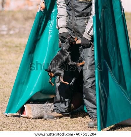 Miniature Pinscher dog training. Biting dog. Zwergpinscher, Min Pin - stock photo