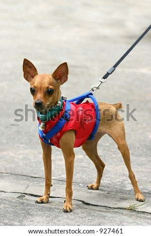 Miniature Pinscher in Chinese suit